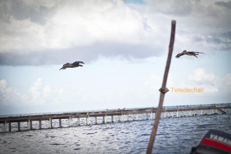 caye_caulker_pelicans_volent