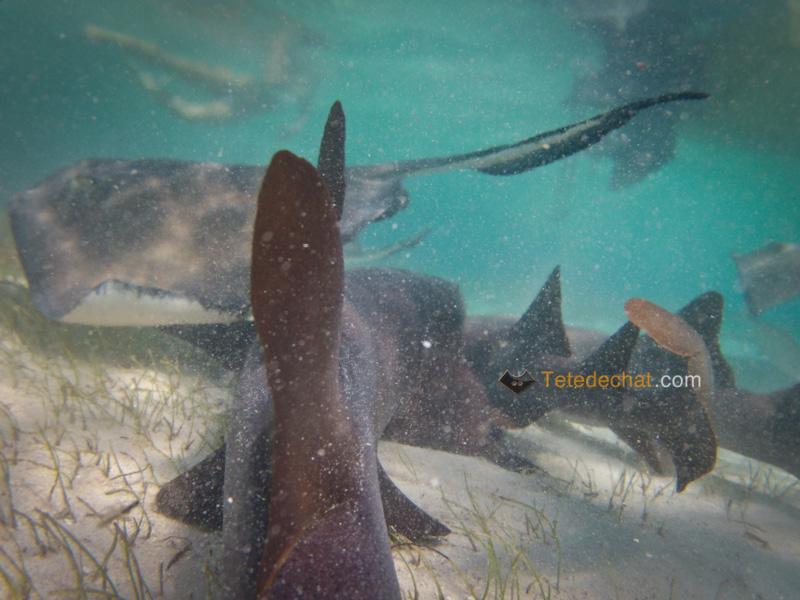 caye_caulker_requins_nourrice