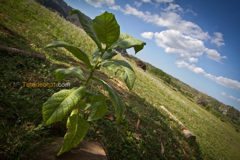 vinales_plant_tabac