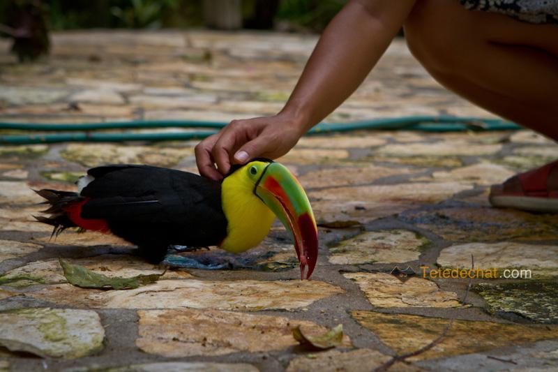 caresse_hihi_toucan_parc_oiseaux_copan