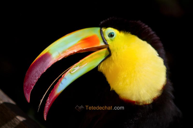 fou_toucan_parc_oiseaux_copan