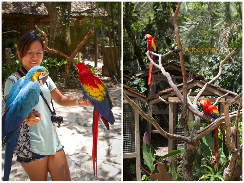hihi_perroquets_parc_oiseaux_copan