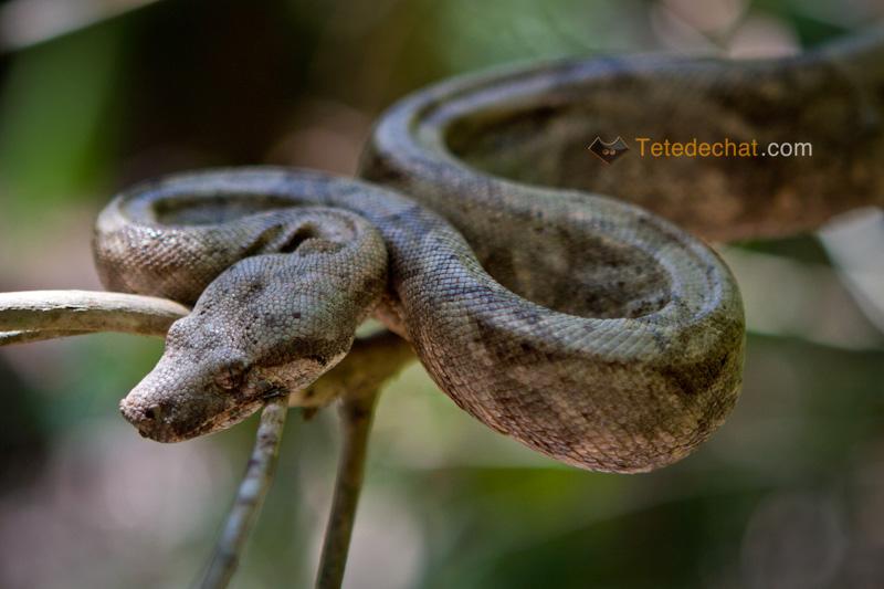 iles_Cayos_Cochinos_rose_serpent