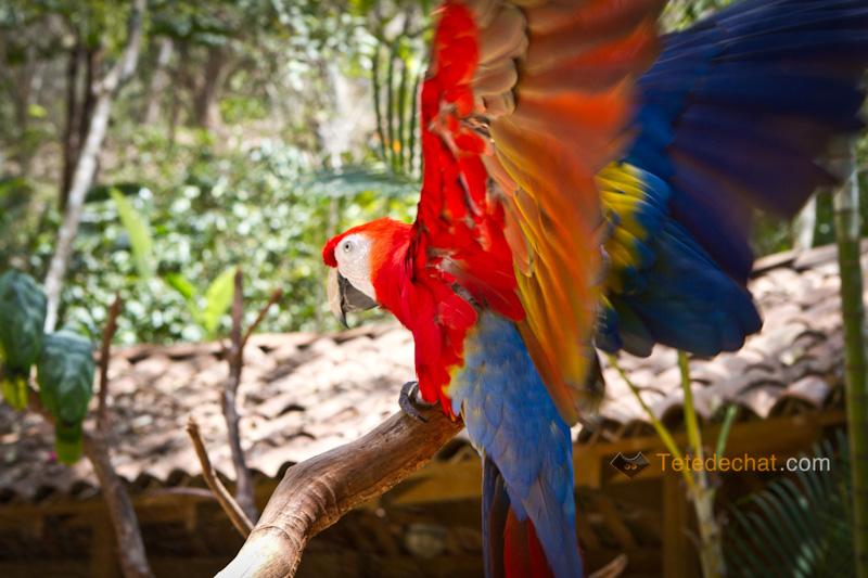 perroquet_ailes_parc_oiseaux_copan