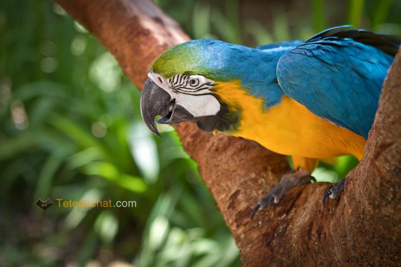 perroquet_bleu_parc_oiseaux_copan