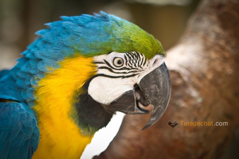 perroquet_bleu_tete_parc_oiseaux_copan
