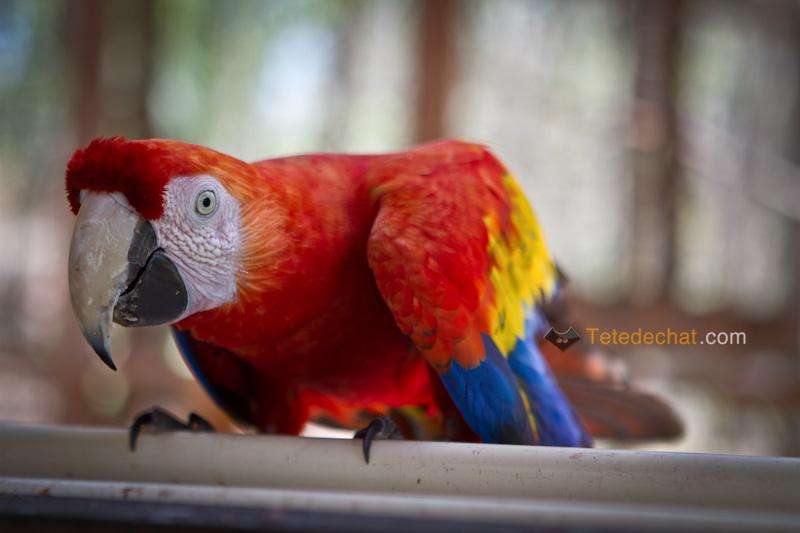 perroquet_copan_2