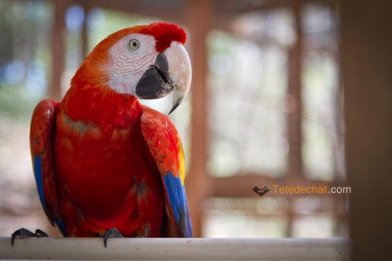 perroquet_copan_3