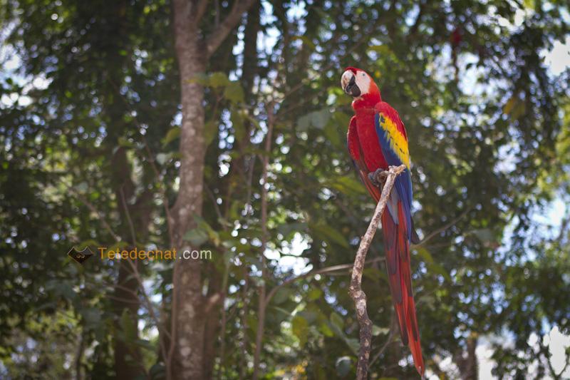perroquet_copan_4