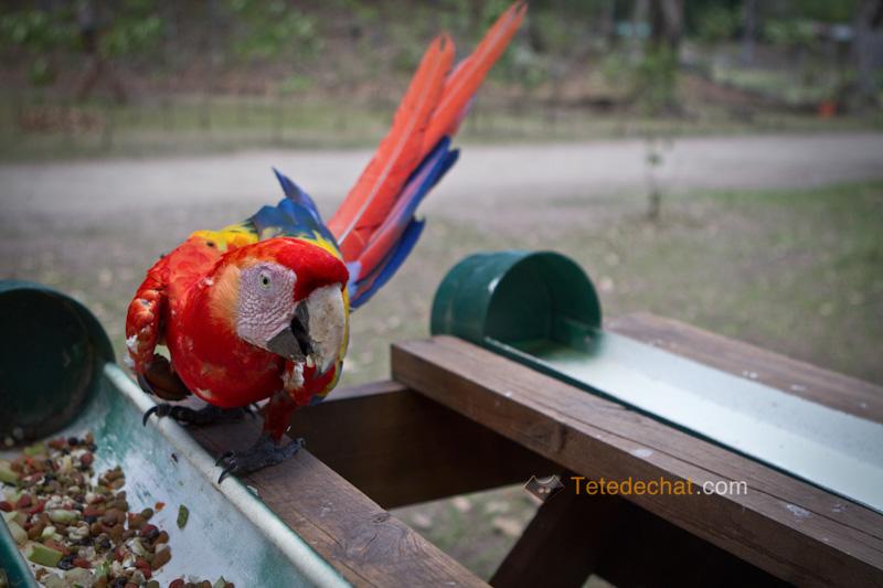 perroquet_copan_5