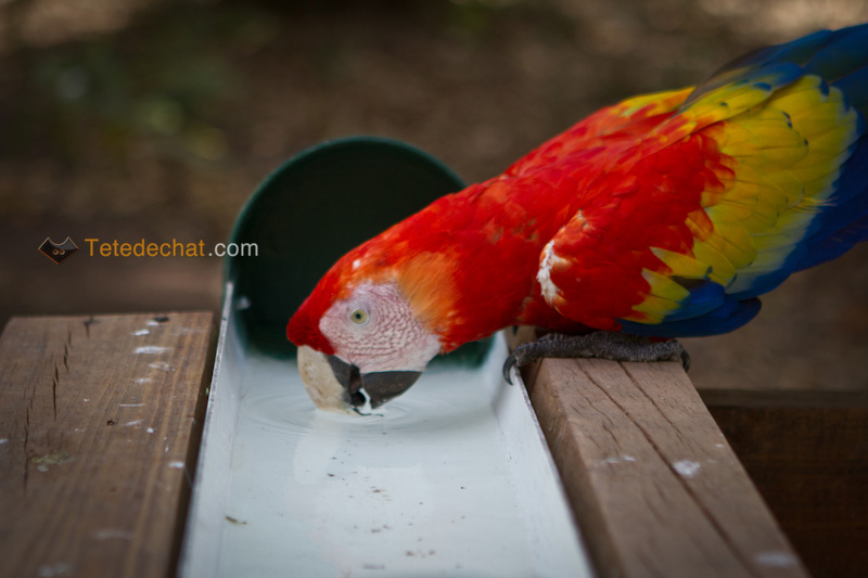 perroquet_copan_boire