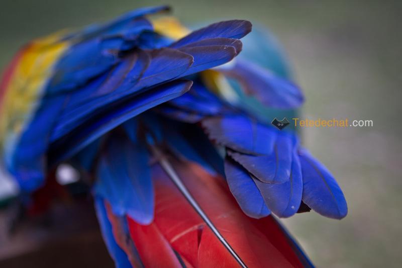 perroquet_copan_plumes