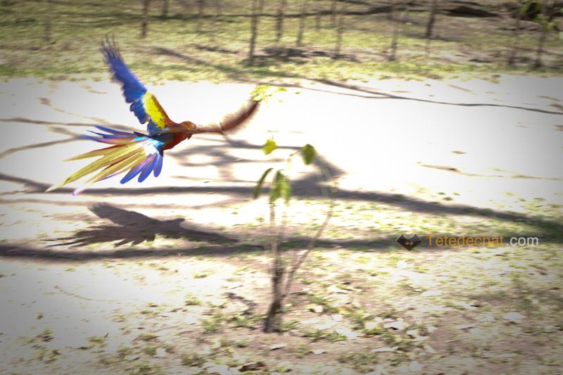 perroquet_copan_voler