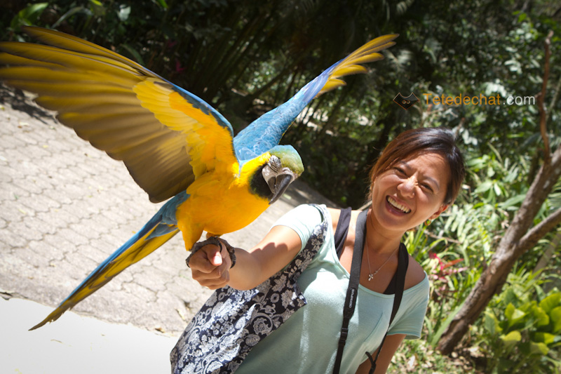 perroquet_hihi_parc_oiseaux_copan