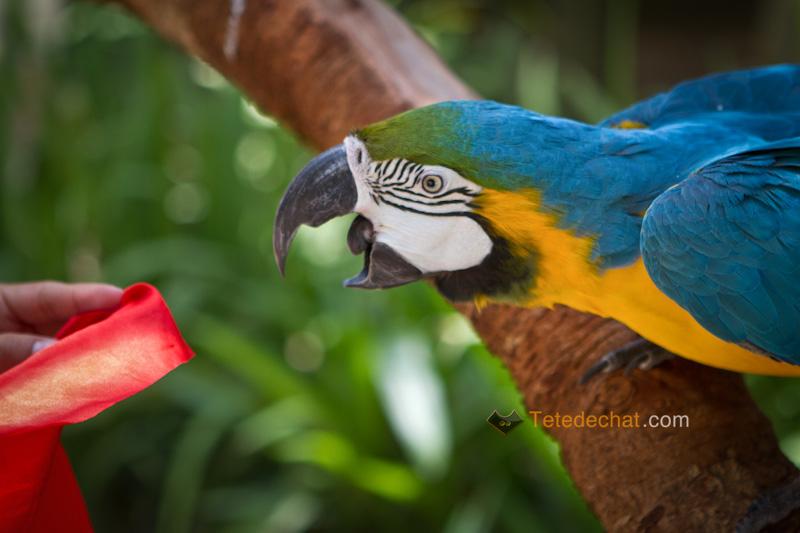 perroquet_mordre_drapeau_parc_oiseaux_copan