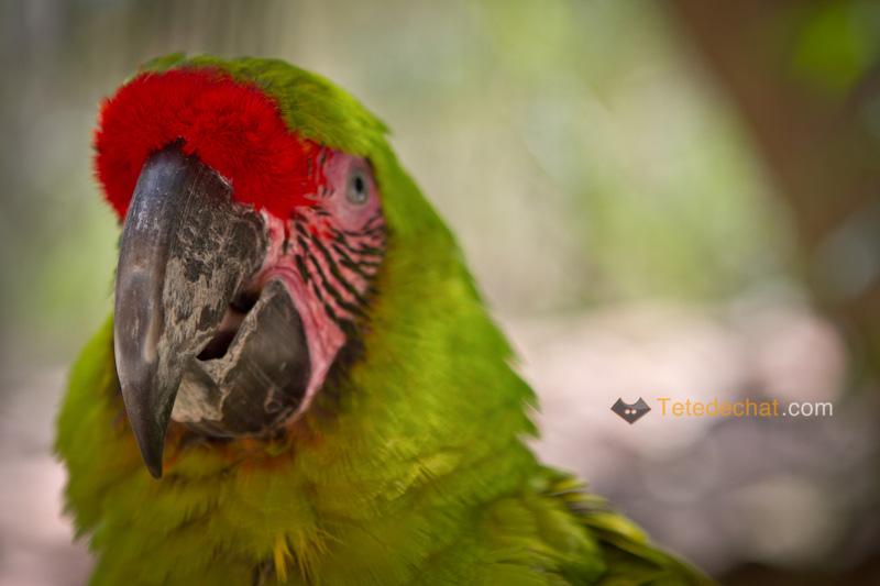 perroquet_vert_tete_parc_oiseaux_copan