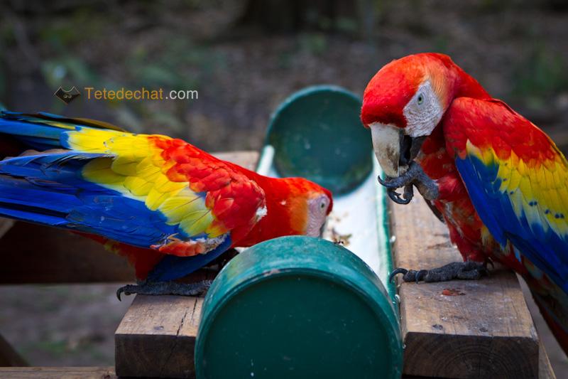 perroquets_copan_