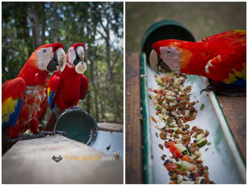 perroquets_mangent_copan