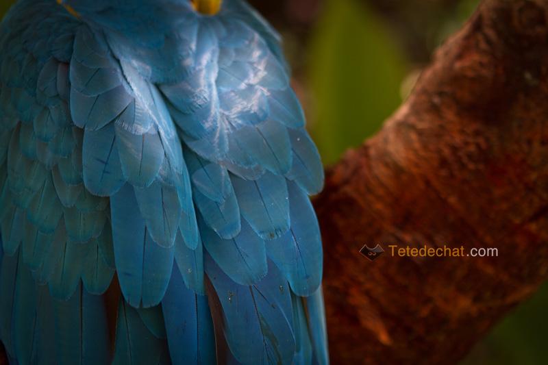 plumes_perroquet_bleu_parc_oiseaux_copan