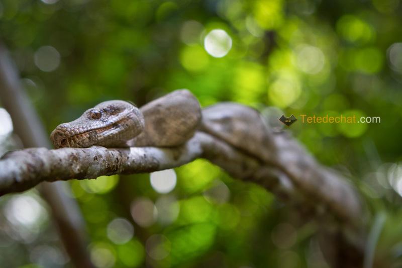 serpent_rose_iles_Cayos_Cochinos