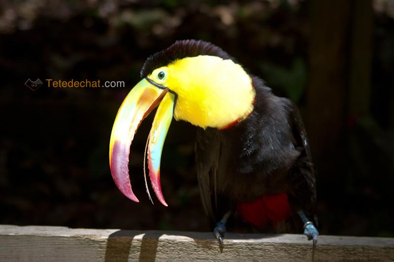 toucan_fou_parc_oiseaux_copan