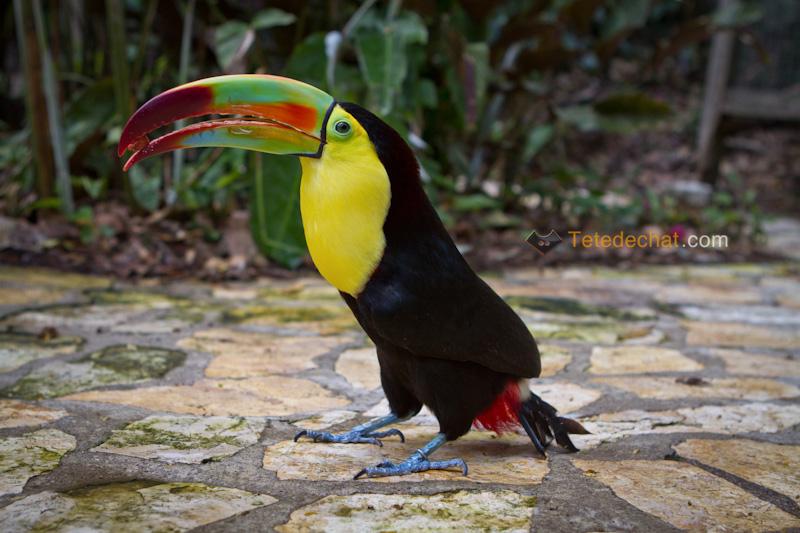 toucan_parc_oiseaux_copan_3