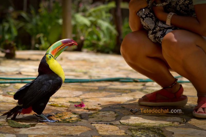 toucan_parc_oiseaux_copan_regarde_hihi