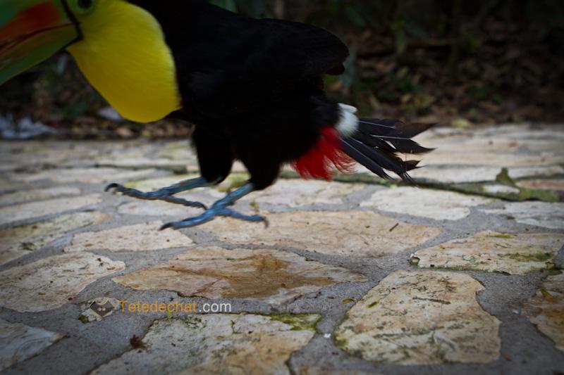 toucan_parc_oiseaux_copan_saute