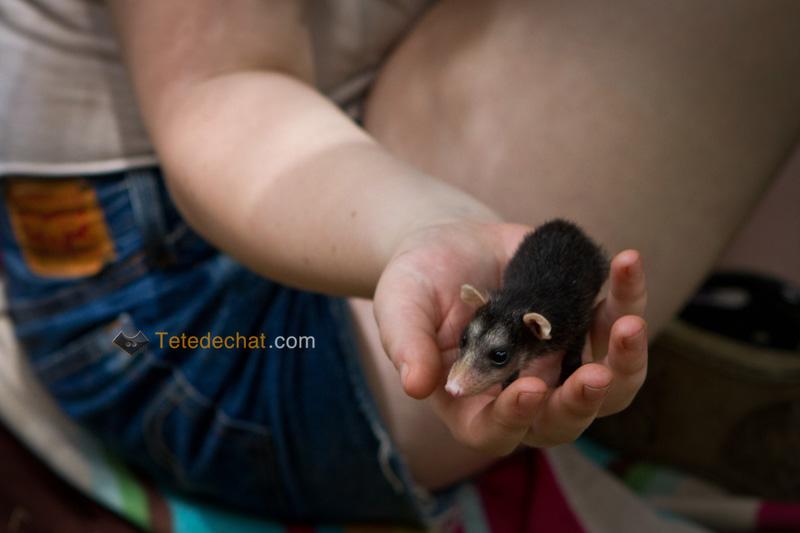 bebe_opossum_Foundation_Jaguar_Rescue_Center_puerto_viejo