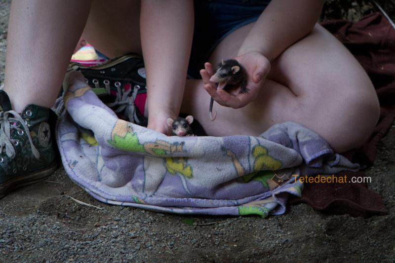 bebes_opossum_Foundation_Jaguar_Rescue_Center_puerto_viejo