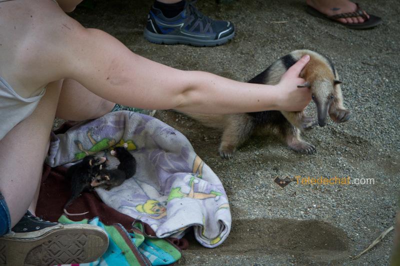 bebes_opossum_Foundation_Jaguar_Rescue_Center_puerto_viejo_fourmilier