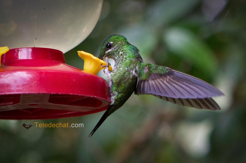 colibri_monteverde_cloud_forest_biological_reserve