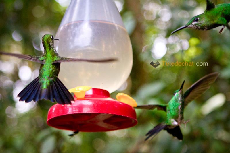 colibri_monteverde_cloud_forest_biological_reserve_10