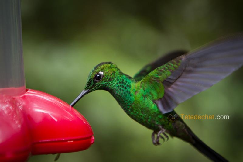 colibri_monteverde_cloud_forest_biological_reserve_11