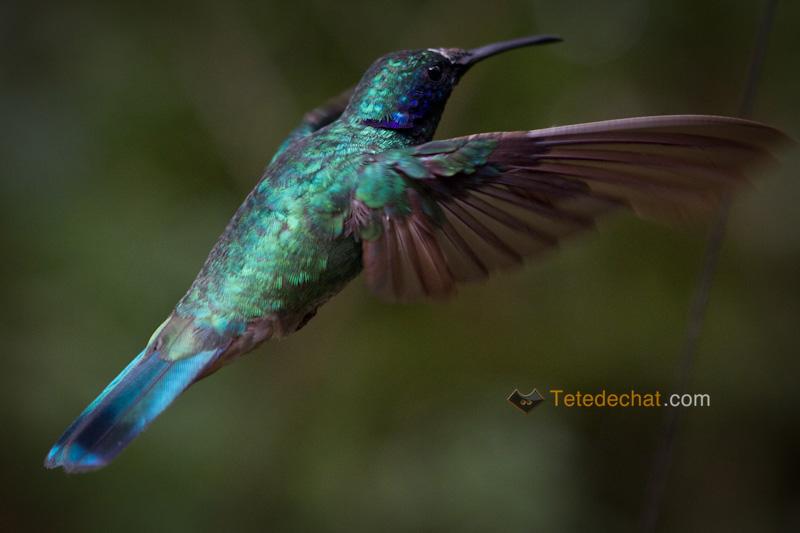colibri_monteverde_cloud_forest_biological_reserve_13