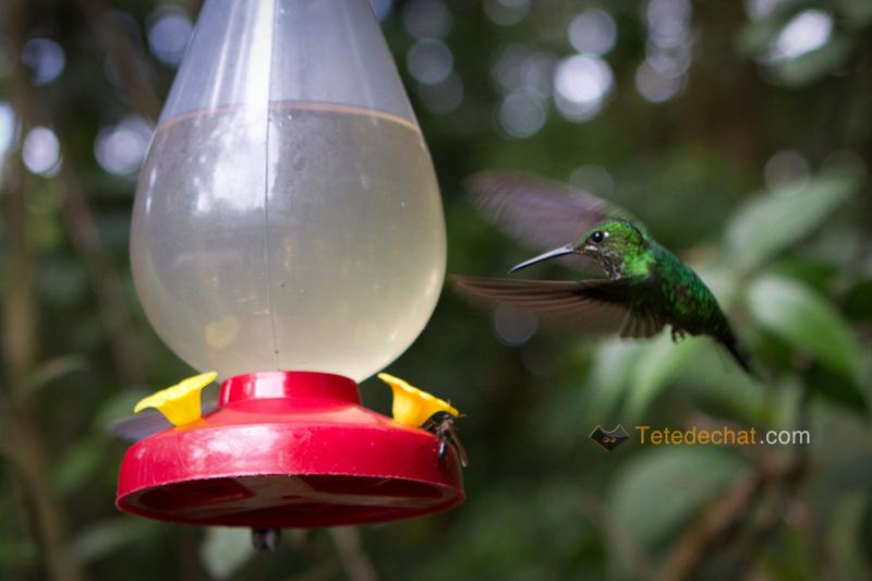 colibri_monteverde_cloud_forest_biological_reserve_3