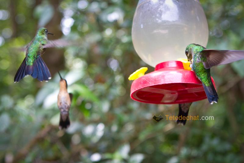 colibri_monteverde_cloud_forest_biological_reserve_6