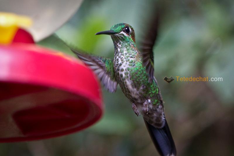 colibri_monteverde_cloud_forest_biological_reserve_7