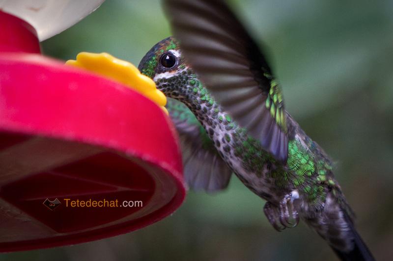 colibri_monteverde_cloud_forest_biological_reserve_8