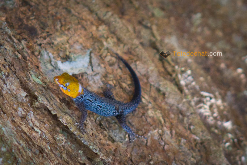 gecko_Gonatodes_albogularis_puerto_viejo