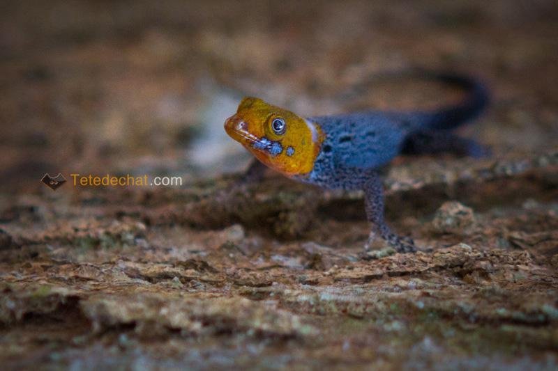 gecko_Gonatodes_albogularis_puerto_viejo_3