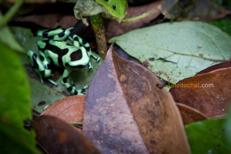 grenouille_dard_poison_dendrobates_auratus_puerto_viejo