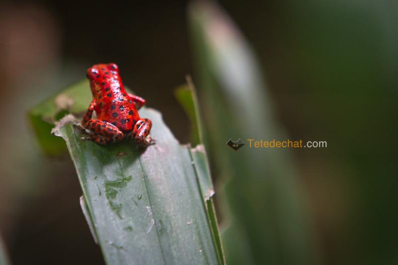 grenouille_rouge_Oophaga_bocas_del_toro_2