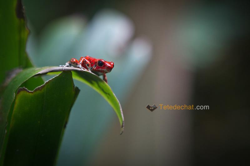 grenouille_rouge_Oophaga_bocas_del_toro_4