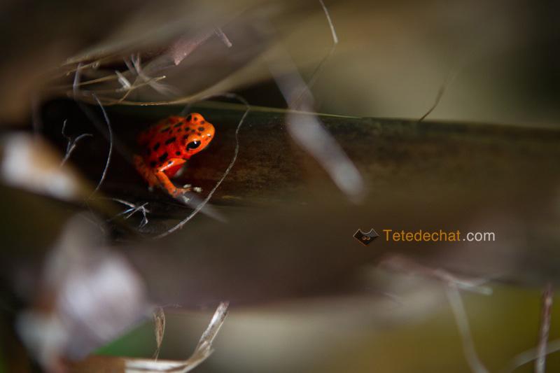 grenouille_rouge_Oophaga_bocas_del_toro_panama