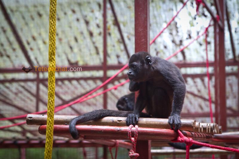 singe_hurleur_Foundation_Jaguar_Rescue_Center_puerto_viejo