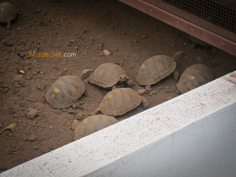 Charles_Darwin_Research_Station_bebe_tortues