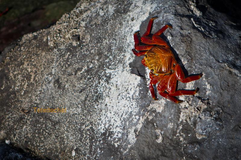 crabe_rouge_des_galapagos