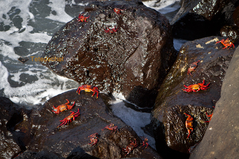 crabes_rouges_des_galapagos