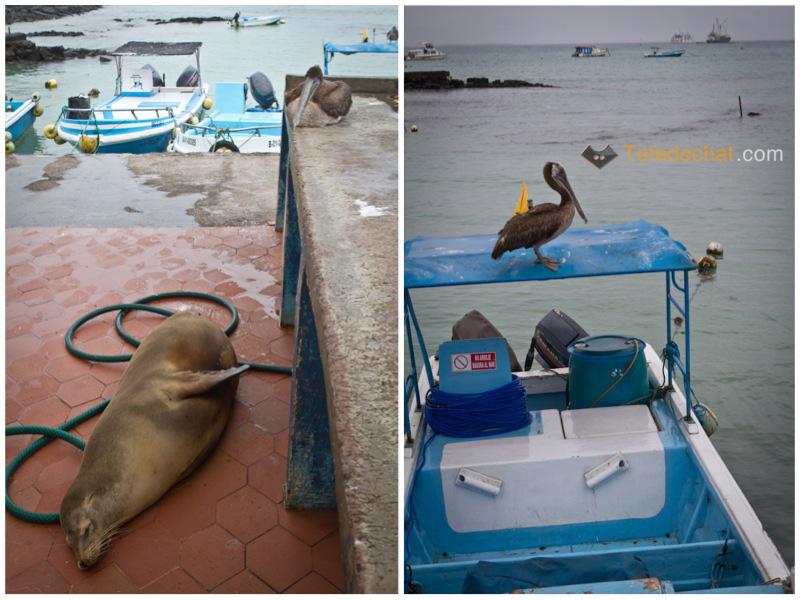 lion_de_mer_pelican_port_santa_cruz